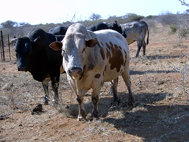 cattle feedlot business plan south africa