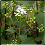 Fact Sheets On Invasive Alien Plants And Their Biological